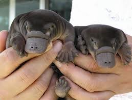 And baby platypi are super cute too!!!